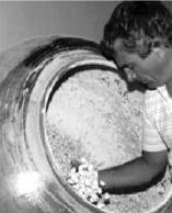 perola-da-ilha-primeiras-amendoas